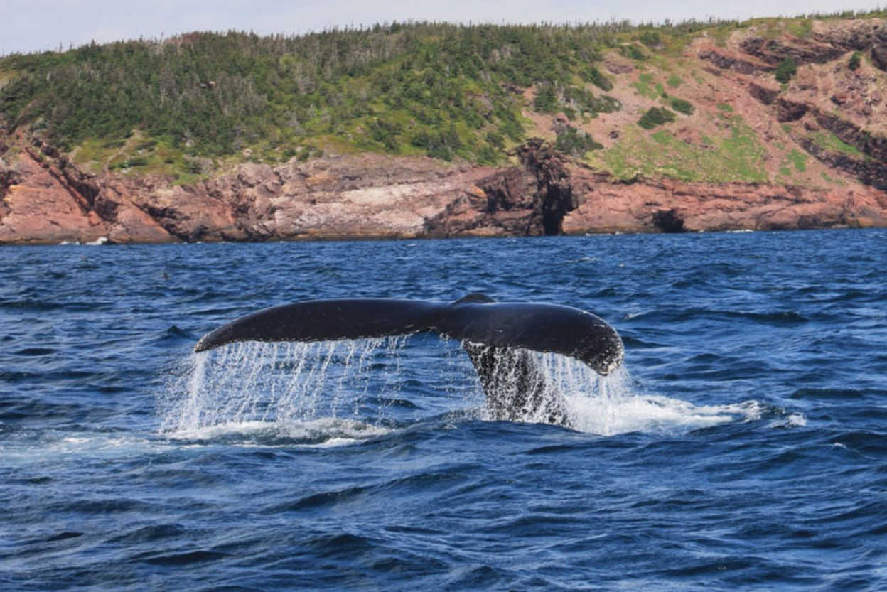 Newfoundland-is-the-sight-of-many-whales